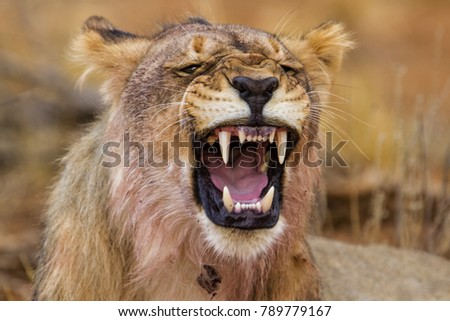 Grumpy young male lion in Erindi Private Game Reserve in Namibia