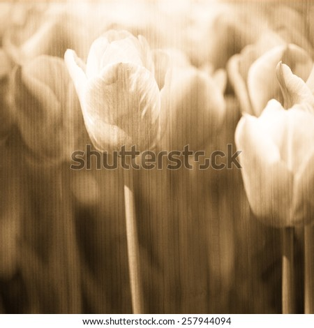 Grunge blurry artistic oak buff color tulips spring flower background. Selective focus used. - stock photo