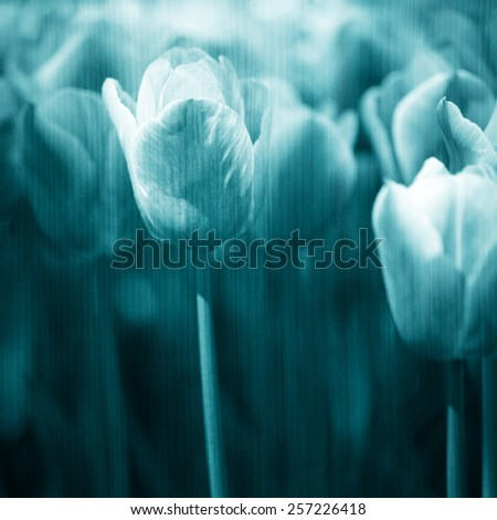 Grunge blurry artistic turquoise color tulips spring flower background. Selective focus used. - stock photo