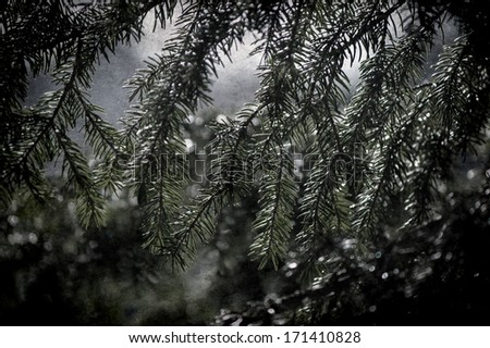 Grunge Fur tree branch with drops - stock photo