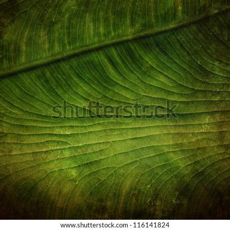grunge leaf veins - stock photo