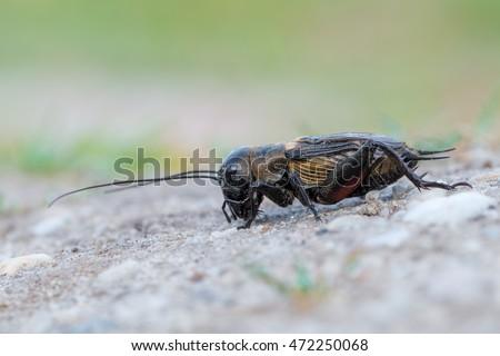 Bộ sưu tập Côn trùng - Page 6 Stock-photo-gryllus-campestris-field-cricket-472250068