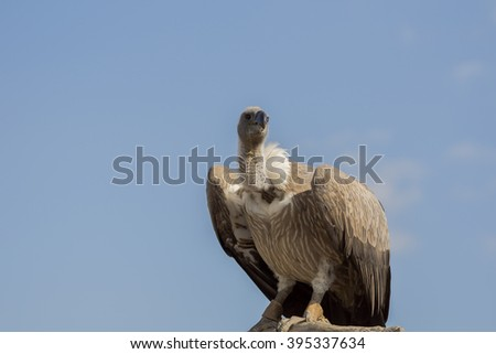 gryphus,vulture and a blue sky