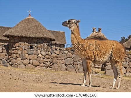 Guanaco (alpaca, llama) - camel of the Andes. Beautiful guanaco near traditional house, Peru. - stock photo