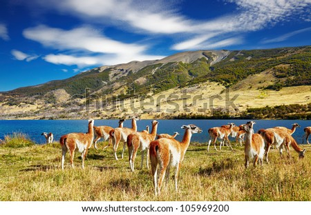 Guanaco in Torres del Paine National Park, Laguna Azul, Patagonia, Chile - stock photo