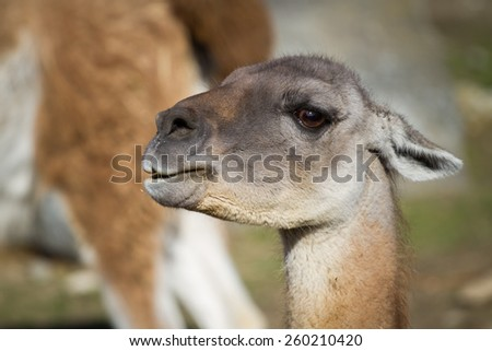 Guanaco lama guanicoe, South American camelid, which live in the high alpine areas of the Andes - stock photo