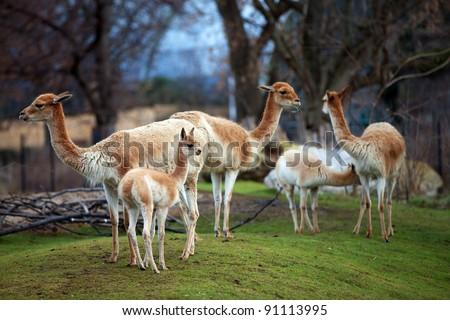 Guanacoes (Lama guanicoe) - stock photo