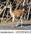 guanacoes  lama guanicoe   the...