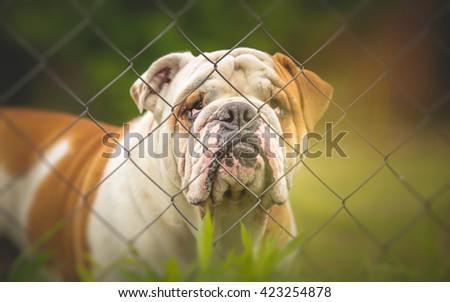 Guard dog behind the fence - English Bulldog - stock photo