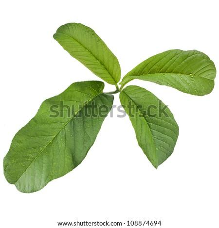 guava tree leaves close up macro shot isolated on white background - stock photo