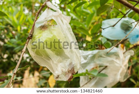 Guava will be stored and eaten - stock photo