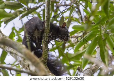 Guayaquil squirrel at Pacaya Samiria National Reserve is endemic for Peru and Eucvador