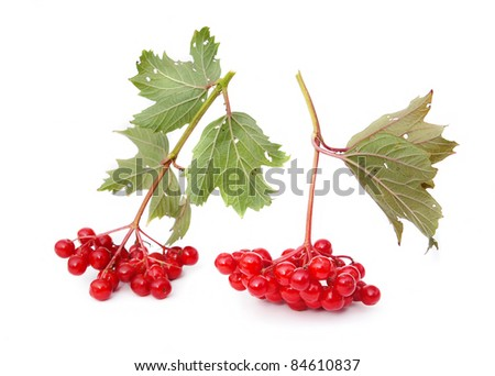 Guelder-rose berries are isolated on a white background