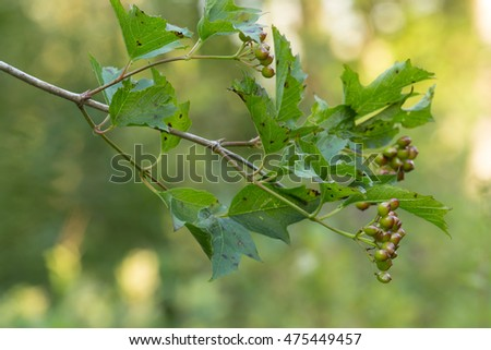 Guelder-rose, Viburnum opulus twig with berries and leafs
