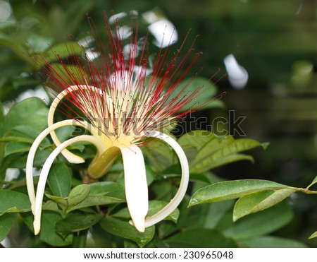 Guiana Chestnut flower in Fruit and Spice Park Florida - stock photo