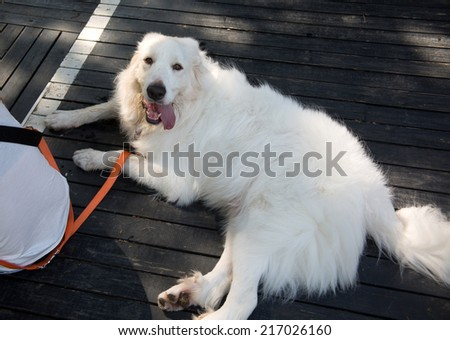 Guide dogs - stock photo
