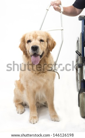 Guiding dog and wheelchair isolated on white