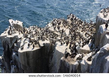 guillemot seabird colony nesting inner make Scottish islands predator fish - stock photo