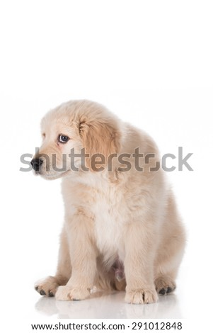 Guilty Golden Retriever puppy isolated on white background - stock photo
