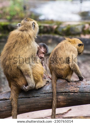Guinea baboon family (Papio papio) on the branch. - stock photo