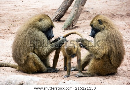 Guinea baboon family (Papio papio). Parents caring for the young. - stock photo