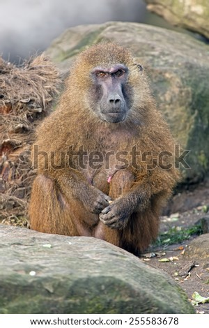 Guinea Baboon on large grey rock/Guinea Baboon/Guinea Baboon (papio papio) - stock photo