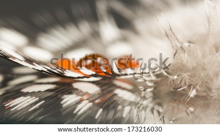 Guinea hen feather with orange water drop and dark background