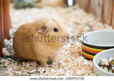 Guinea pig - stock photo