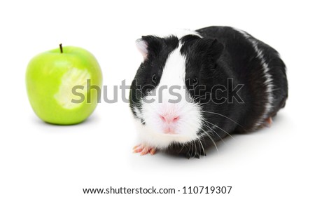 Guinea pig and an apple. On a white background.