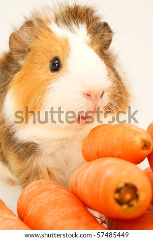 Guinea pig and carrots isolated on a grey background