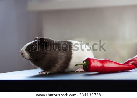 Guinea pig and red pepper. - stock photo