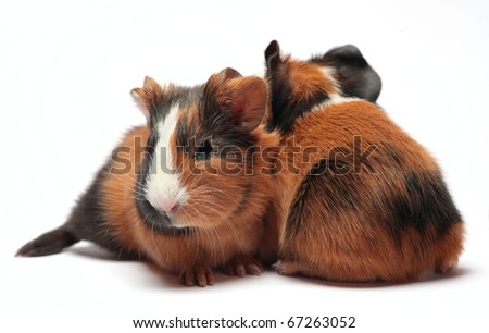Guinea pig babies (4 days) isolated on white background