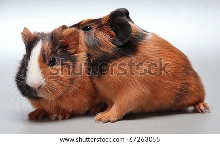 Guinea pig babies (5 days) on white background