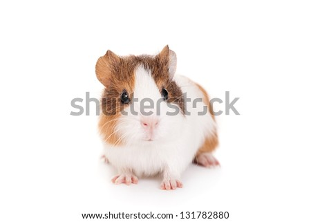Guinea pig baby isolated on white background - stock photo