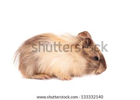Guinea pig baby isolated on white background - stock photo