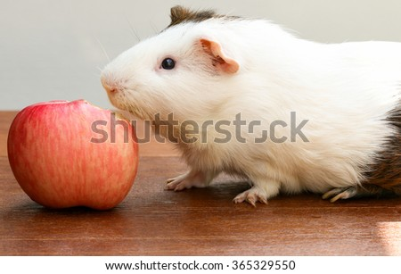 Guinea pig biting a apple and sitting on the desk, A popular household pet.