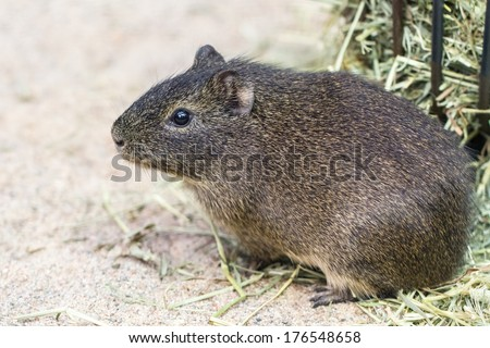 Guinea pig (Brazilian) sitting on the ground - stock photo