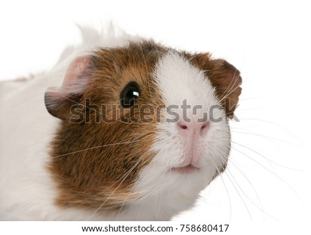 Guinea pig, Cavia porcellus, in front of white background