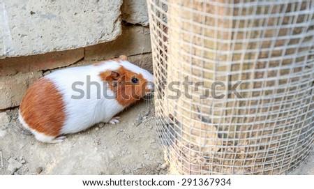 Guinea pig (Cavia porcellus) is a popular household pet.  - stock photo