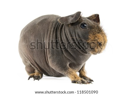 Guinea Pig (Cavia, Porcelluson) Isolated on white background. - stock photo