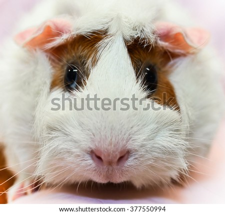 Guinea Pig Close Up Shot