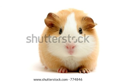 guinea pig closeup shot over white