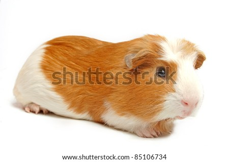 guinea pig closeup shot over white, selective focus in head