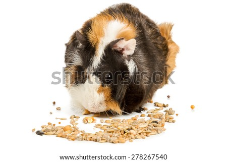 Guinea pig eat feed isolated on a white background - stock photo