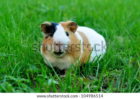 Guinea pig eating grass - stock photo