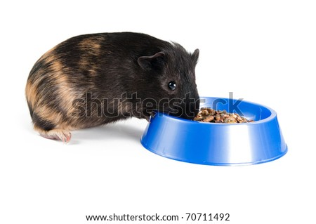 guinea pig eating  on the white background