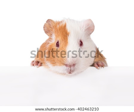 Guinea pig hanging its paws over a white banner - stock photo