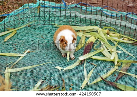 Guinea pig in a cage with grass in the Otavalo Animal Market