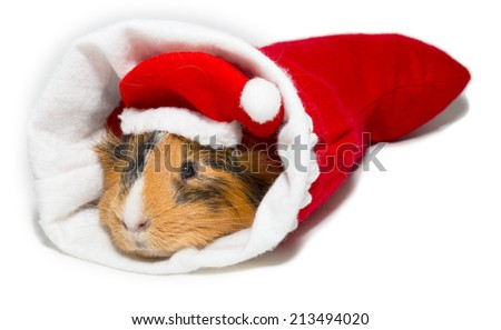 guinea pig in a cap of Santa Claus