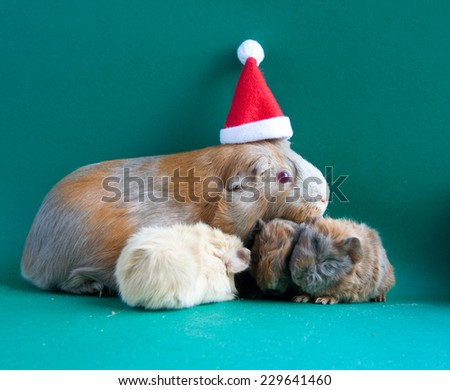 Guinea pig in Santa Claus hat with her kids - stock photo